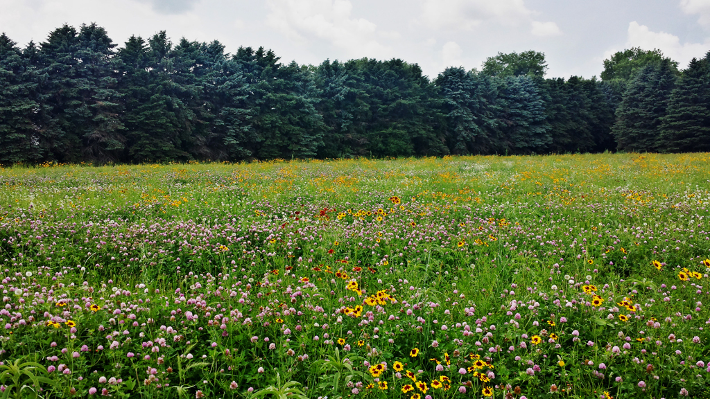 Field of Wild Flowers in Cass County
