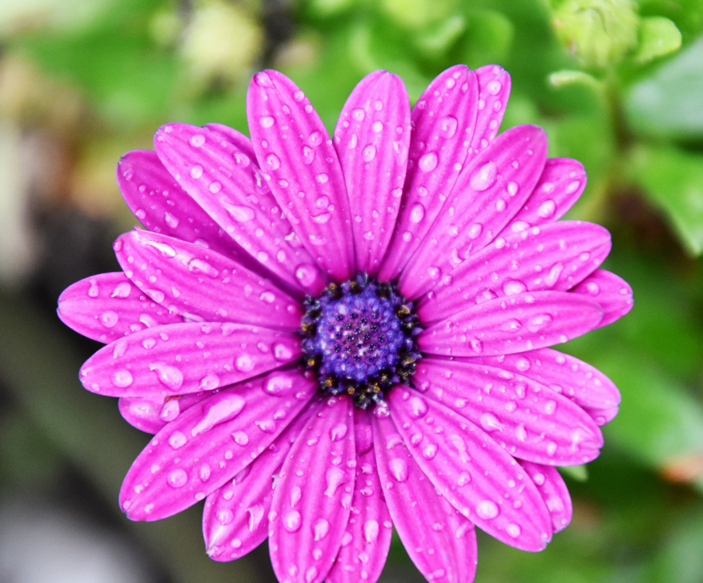Purple Daisy w/water droplets